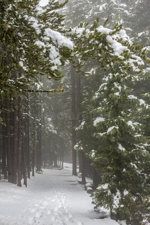 Winter Path. Footprints follow a snowy path among pine trees in Colorado royalty free stock images