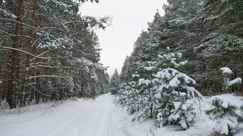 Winter path pine christmas tree forest wildlife winter landscape, beautiful snow is. Winter path pine christmas tree forest wildlife winter landscape, beautiful stock images