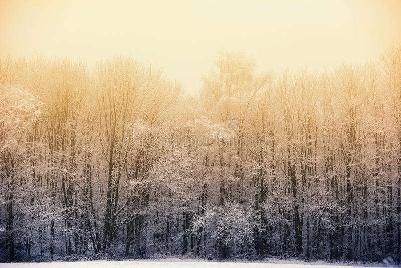 Winter phenomenon: Evening sun behind foggy winter forest. Misty forest with snow covered trees stock photography