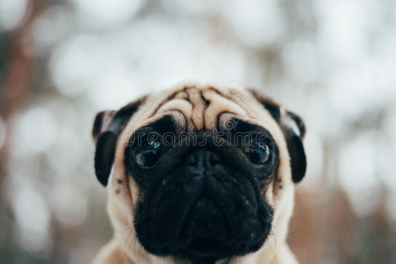 Winter Photo of a small pug sweet royalty free stock images
