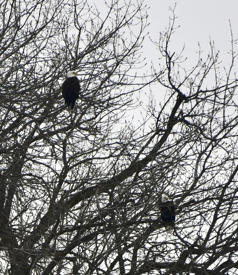Two Bald Eagles Perched in a Tree stock images