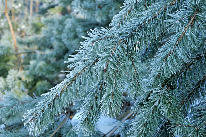 Winter pine branch. Snowflakes on a branch close-up. Macro royalty free stock images