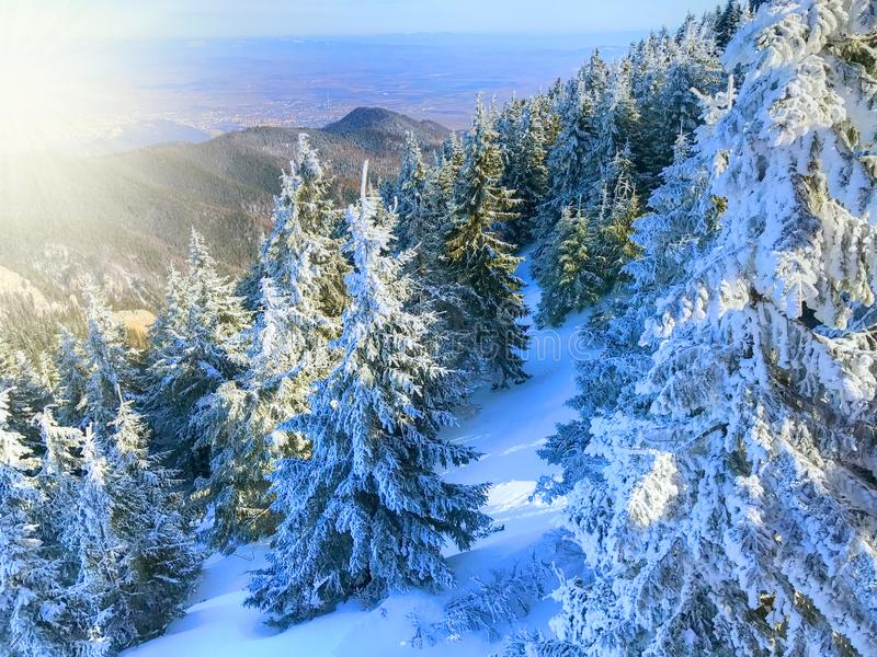 Winter pine forest from the air stock photo
