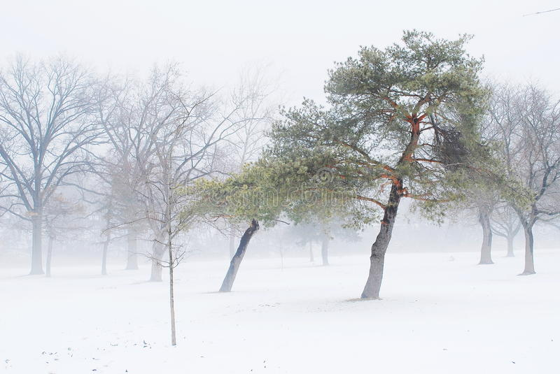 Winter pine tree. Closeup winter pine tree in the park royalty free stock images