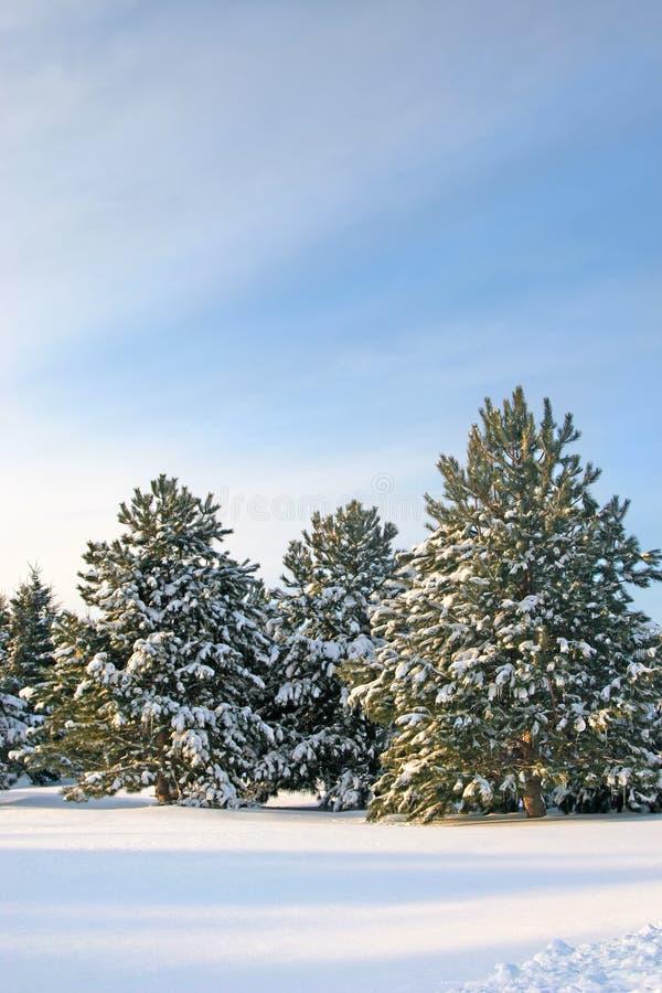 Free Winter Pines Stock Photos - 6344243