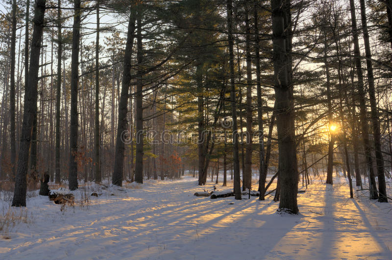 Winter Pines Sunrise. A snowy winter sunrise scene in a pine forest royalty free stock photography