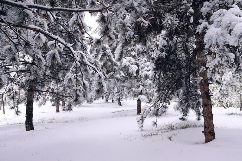 Download Winter pinewood stock photo. Image of pinewood, pinetum - 30545186