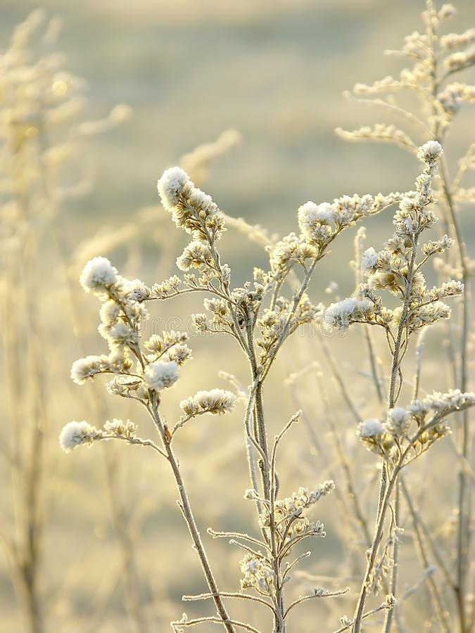 Download Winter Plant With Morning Frost At Sunrise Royalty Free Stock Image - Image: 9820226