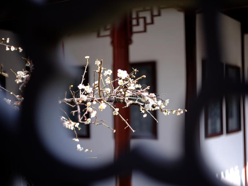 Winter plum blossom. White meihua through window view royalty free stock photos