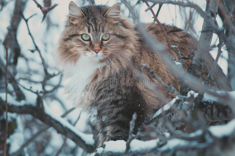 Winter portrait of a beautiful Siberian cat. Sitting on the tree royalty free stock image