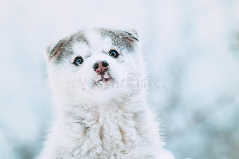 Winter portrait of a cute husky puppy, funny dog with snow on the nose stock photography