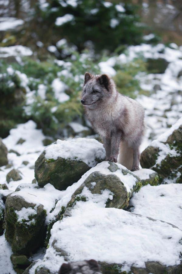 Winter Portrait of Grey Polar Fox. Winter Standing Portrait of Grey Polar Fox royalty free stock photography