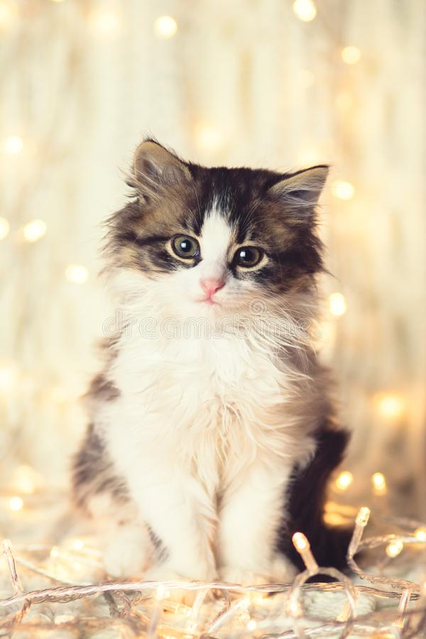Winter portrait of a small cute kitten on a knitted blanket in the lights of a garland stock photography