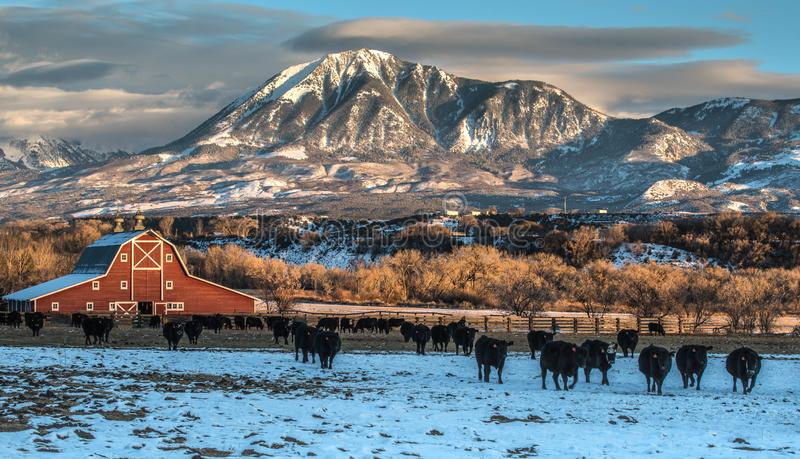 Winter Ranching Scene in Western Colorado. The image depicts a classic ranching scene in Western Colorado with Angus Cows and a nice red barn and mountain royalty free stock photos