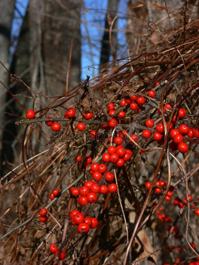 Winter: red berries oriental bittersweet royalty free stock image