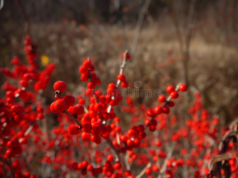 Winter: red berries in New England. Red berries in New England winter royalty free stock image