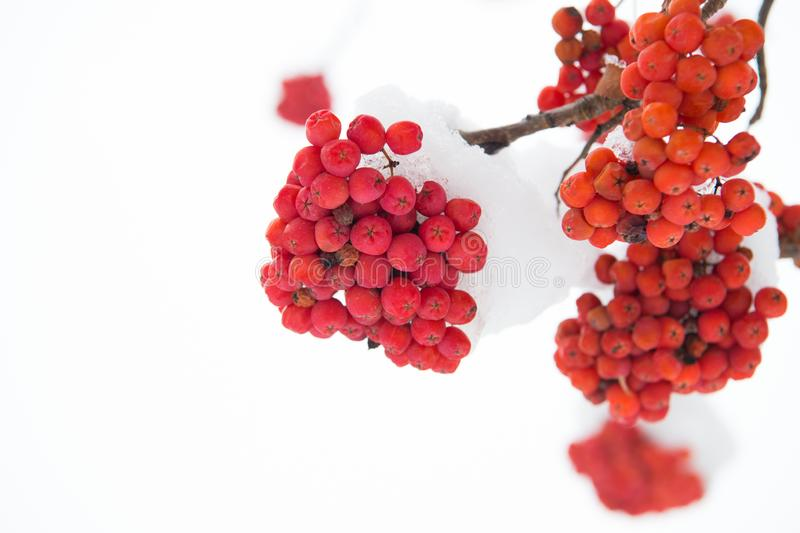 Winter red berries. Snow-covered red bunches of rowan in the snow. Rowanberry twig in snow. Red bunches of rowan covered royalty free stock images