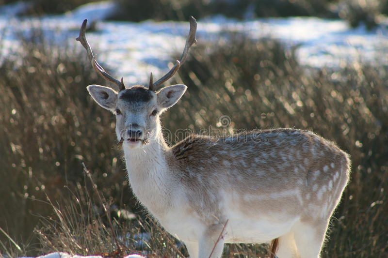 Winter Red Deer stock photography