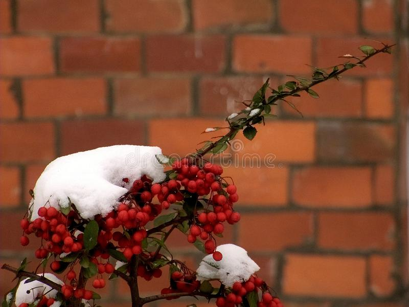 The winter red fruits royalty free stock photos