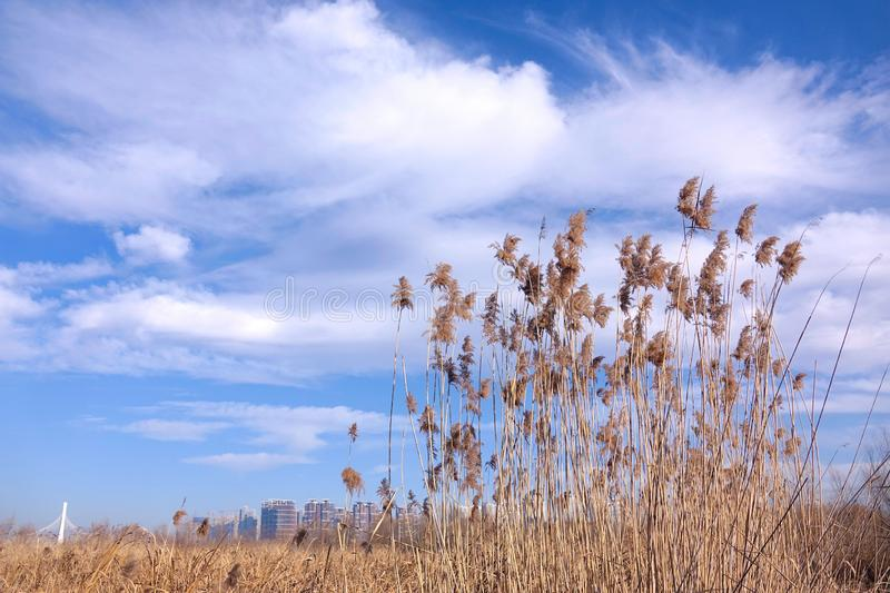 Winter reeds. The landscape of winter reeds under the skys stock photo