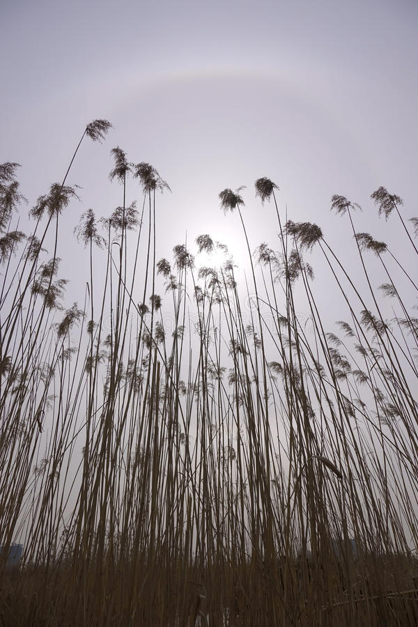Winter reeds and solar halo stock photos