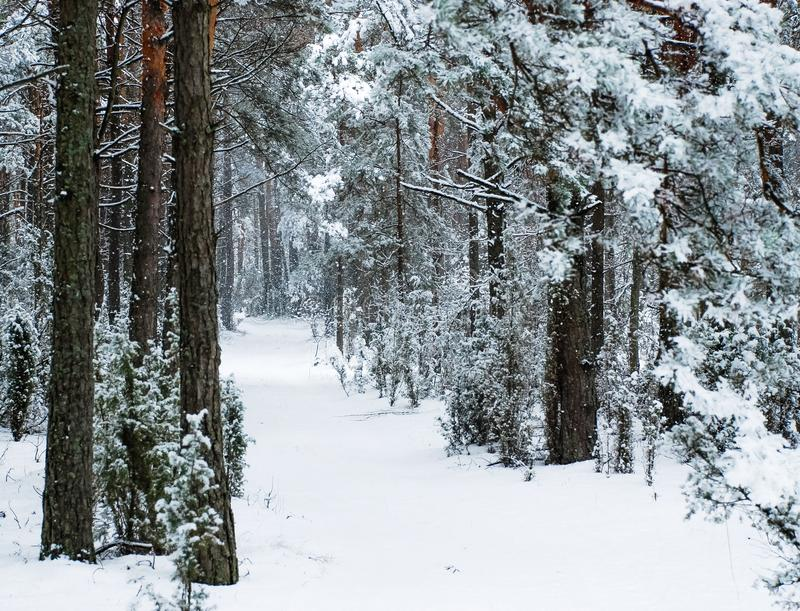 Winter road in the pine forest. stock photos