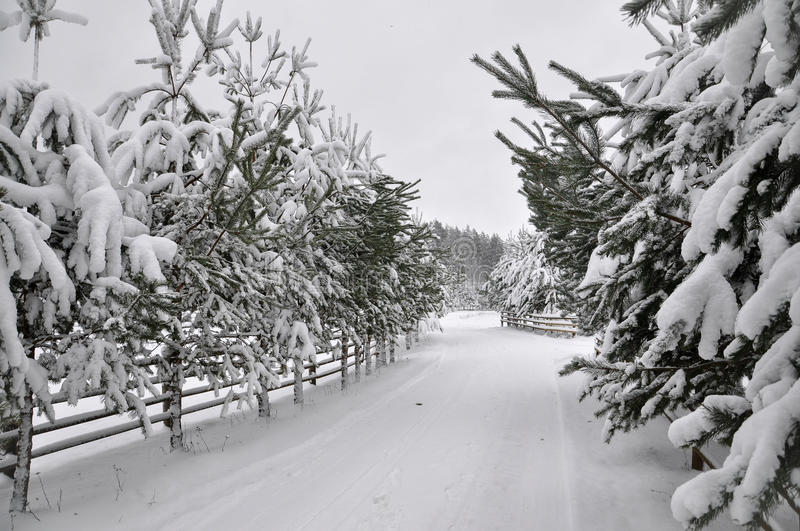 Winter road with a wooden fence and fir trees on both sides of the road. Winter landscape. Winter road with a wooden fence and fir trees on both sides of the stock image