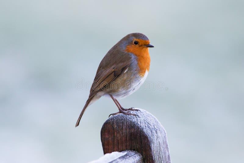 Winter Robin lizenzfreie stockbilder