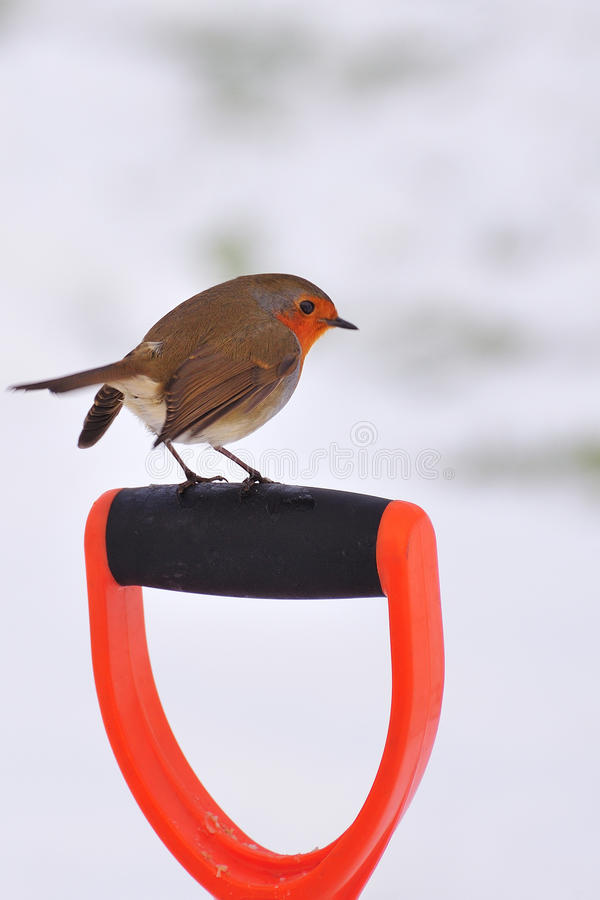 Winter Robin (Erithacus rubecula) stock photography