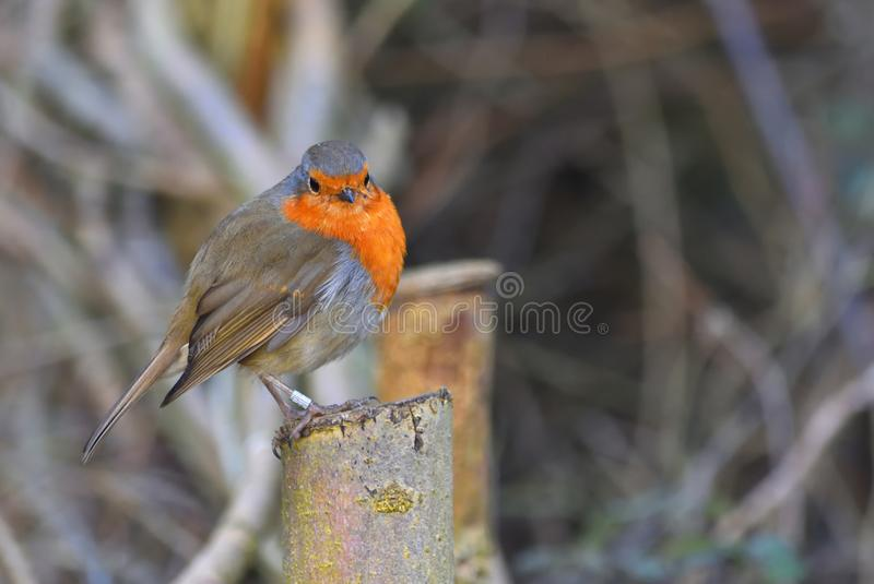 Winter Robin with fluffy plumage royalty free stock photos