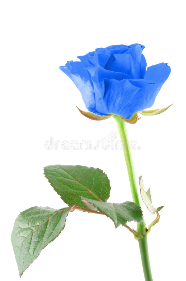 Free Winter Rose Stock Photography - 569322