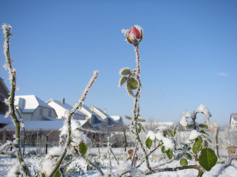 Winter Rose. Day Frozen Snow royalty free stock images