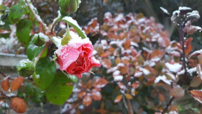 Winter Rosebud mit Frost und Schnee stockbilder