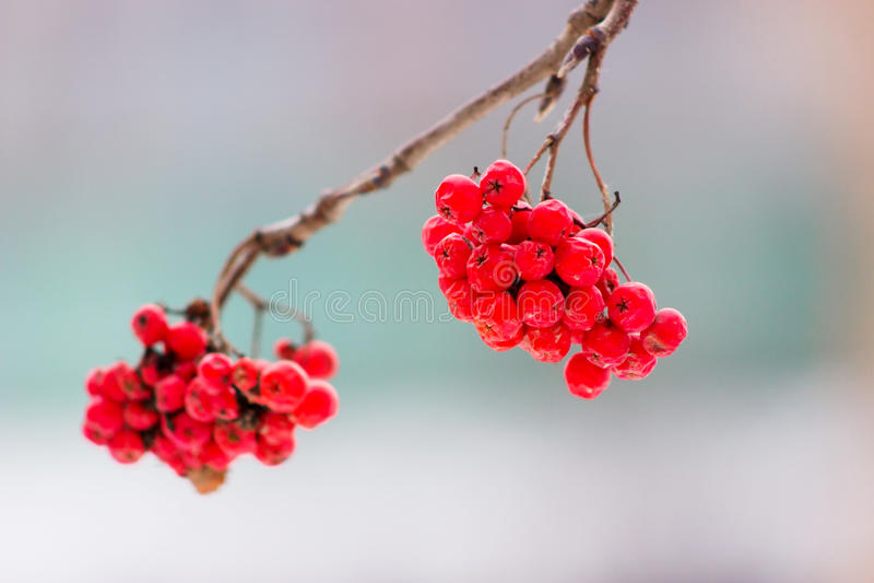 Winter rowan ashberry stock photo