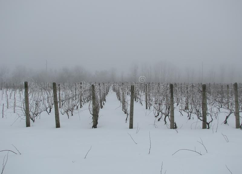 Winter rows of grapevines stock photos