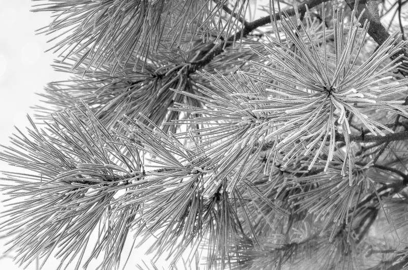 Winter`s Craft. Close up of frosted pine neddles and branches against sky blured background in black and white royalty free stock photo