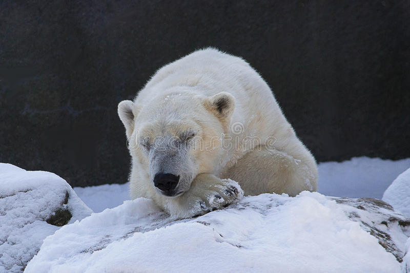 Winter's Sleep. This cool ursine sleeps during a cold winter's afternoon...Bronx Zoo NY royalty free stock photography
