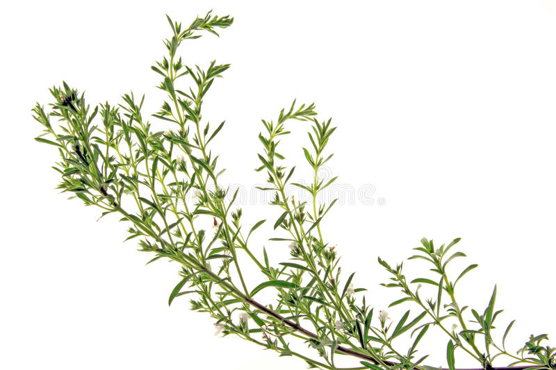 Download Winter savory stock photo. Image of satureja, space, copy - 25376210