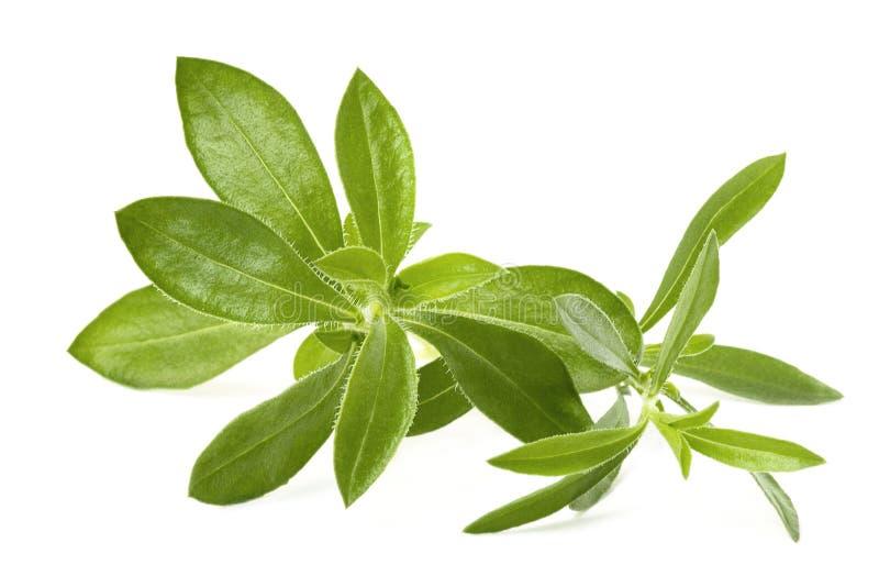 Winter savory. Satureja hortensis - winter savory on white royalty free stock image