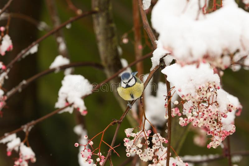 A winter scene of a stunning Blue Tit Cyanistes caeruleus perched on a branch of a mountain Ash tree in a snowstorm. The berries. A winter scene of a Blue Tit royalty free stock photography