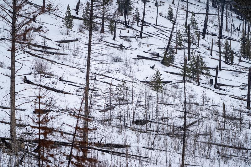Winter scene of burned trees, remnants of the Sawback Prescribed Burn of 1993, as seen in 2019 along the Bow Valley Parkway in. Winter scene of burned trees stock photos