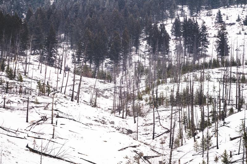 Winter scene of burned trees, remnants of the Sawback Prescribed Burn of 1993, as seen in 2019 along the Bow Valley Parkway in. Banff National Park royalty free stock photo