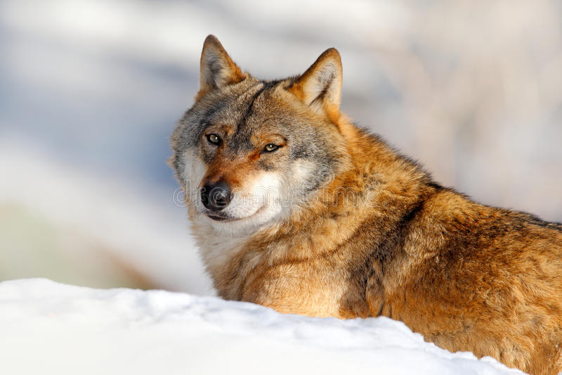 Winter scene with danger animal in the forest. Gray wolf, Canis lupus, portrait with stuck out tongue, at white snow. Detail face. Winter scene with danger royalty free stock photography