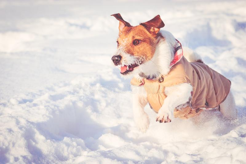 Winter scene with dog running on snow at sunny cold day royalty free stock photos