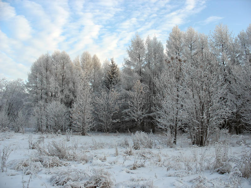 Winter scene. Frosty trees stock image