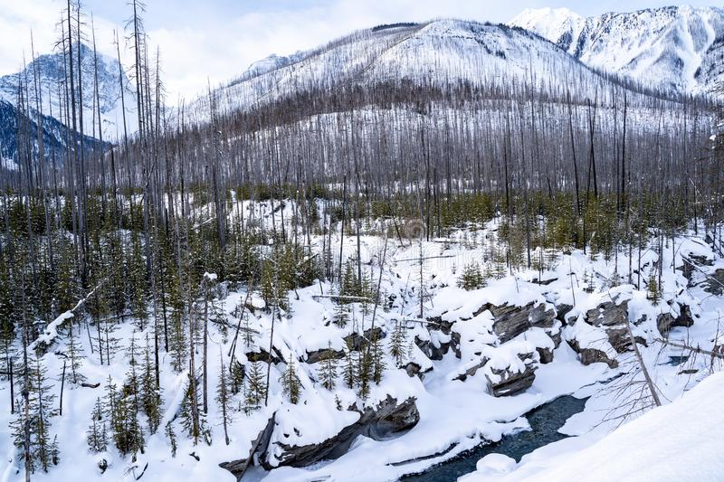 Winter scene in Kootenay National Park with burned forest fire trees, the Kootenay River and Canadian Mountains, all covered in royalty free stock images