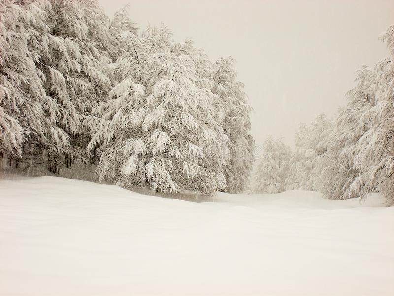 Winter scene of smooth snow, and snow covered trees and light fog background. Mountain hills with smooth soft blanket of snow and tree and pines covered with stock photography