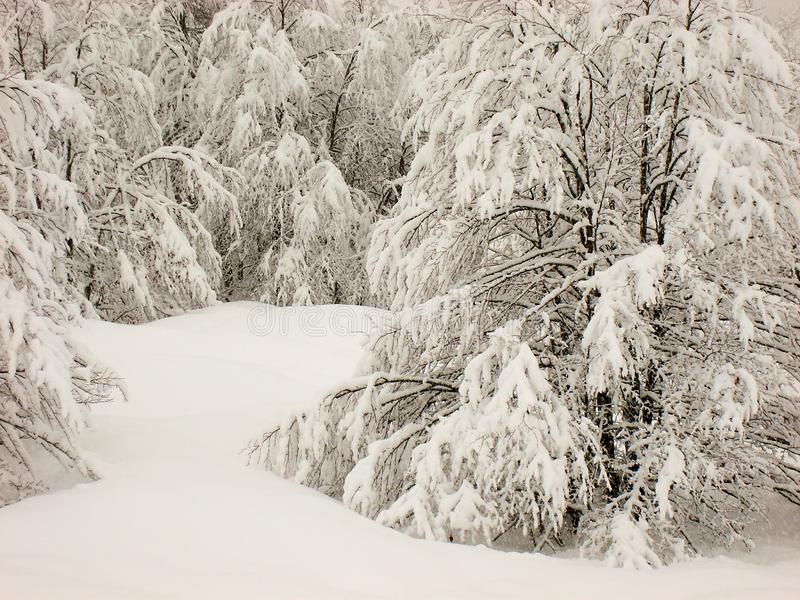 Winter scene of smooth snow, and snow covered trees. Mountain hills with smooth soft blanket of snow and tree and pines covered with white snow. overcast day royalty free stock photography