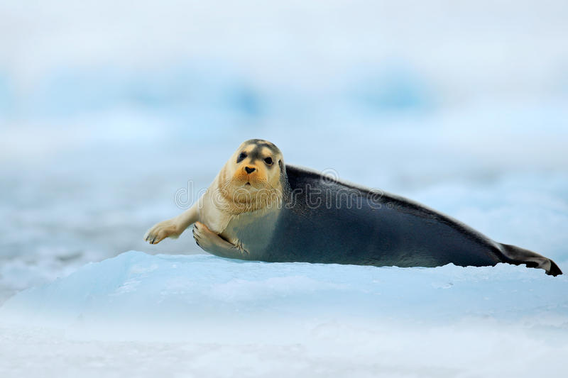 Winter scene with snow and sea animal. Bearded seal, lying sea animal on ice in Arctic Svalbard, winter cold scene with ocean, dar. Winter scene with snow and stock image