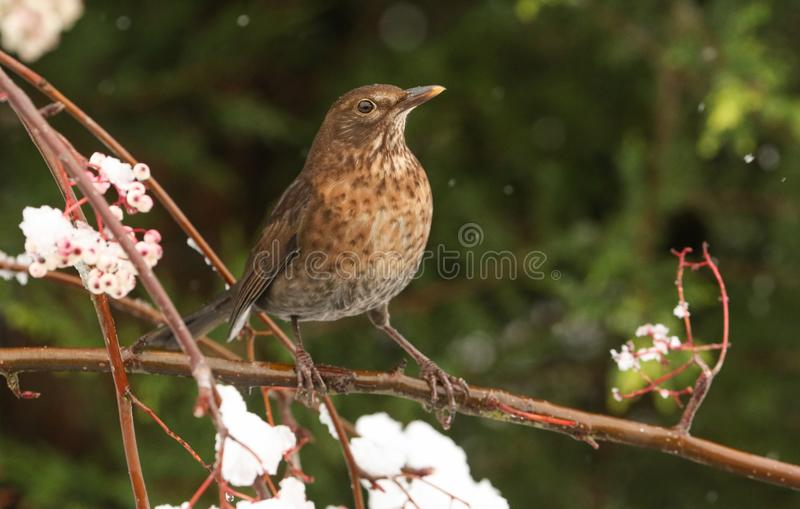 A winter scene of a stunning female Blackbird Turdus merula perched on a branch of a mountain Ash tree in a snowstorm. It has b. A winter scene of a female stock photography